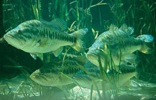 The Florida largemouth bass is the state freshwater fish. The bass can reach a length of more than 20 inches and weigh more than 15 pounds.