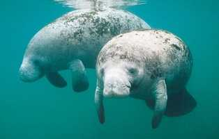 The manatee became the state marine mammal in 1975.