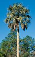 The state tree is the sabal palm, which is the most widely distributed palm in Florida.