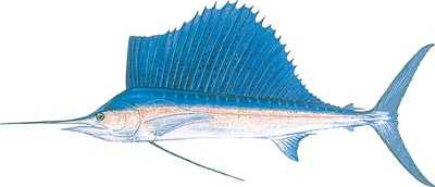 The Atlantic sailfish became the state's official saltwater fish in 1975.