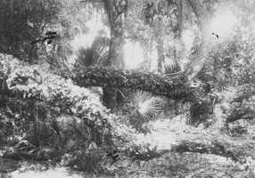 1923: Limbs of trees covered with Polypodium polypodioides in New Smyrna Beach