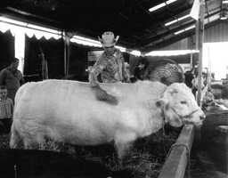 1960: Livestock at the North Florida Fair.