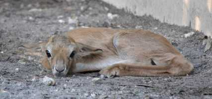 On the Kilimanjaro Safaris, this sweet springbok calf is now roaming (or lying down).