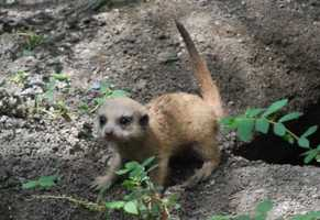 At Animal Kingdom on the Pangani Forest Exploration Trail, this baby meerkat and nine siblings were born.