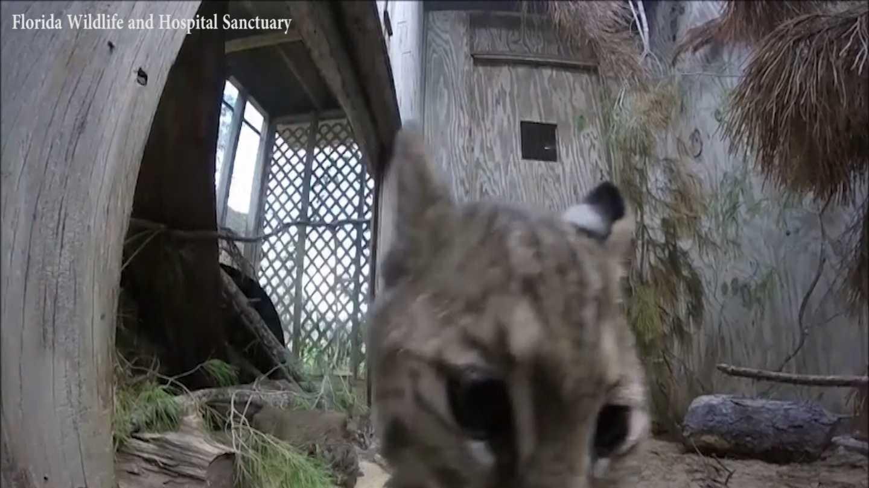 bobcat pic 2.jpg