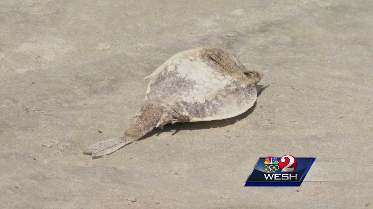 Dead fish litter some Volusia County beaches