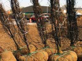 A Maryland nursery donated 50 horn beam trees to the Gold Star Garden in York.