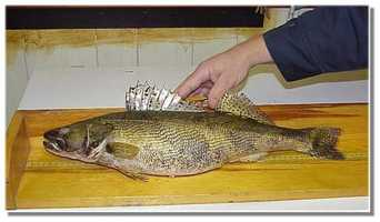 Sauger (Sander canadensis): 4 lb. -- caught by Tim Waltz of Williamsport in 2001 at the Susquehanna River.