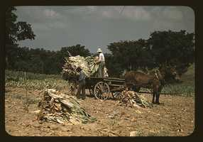Taking Burley tobacco in from the fields after it had been cut, to dry and cure in the barn, on the Russell Spears' farm, located in the vicinity of Lexington, Ky. Marion Post Wolcott took this photo in September 1940.