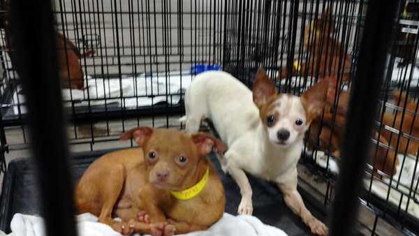 Chihuahuas 01.jpg