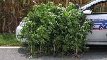 Police in Lancaster County pulled 20 pot plants out of a Manor Township corn field on Thursday.
