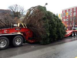 The tree will be decorated before the annual Light Up Night ceremony on Dec. 7.