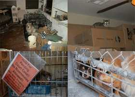 """According to the International OCD Foundation, """"Animal hoarding is more than just having a large number of animals, although numbers do need to be taken into account. The published definition of an animal hoarder [Patronek 1999] is someone who: Accumulates a large number of animals, and fails to provide minimal standards of nutrition, sanitation, and veterinary care, and fails to act on the deteriorating condition of the animals (including disease, starvation and death) or the environment (severe overcrowding and extremely unsanitary conditions), and fails to act on the negative effect of the collection on their own health and well-being and that of other household members."""