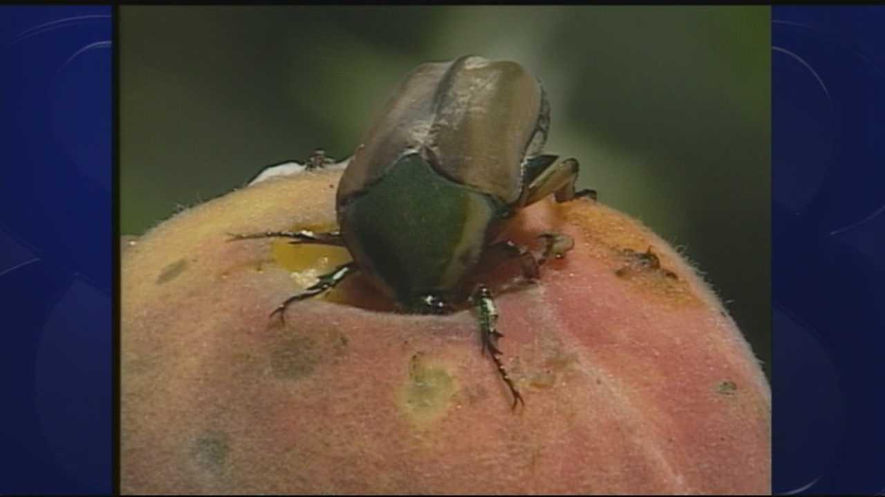 wild moments: june beetles