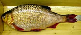 There is also concern that the European Rudd will cross breed with native golden shiners resulting in a new hybrid with unknown consequences.