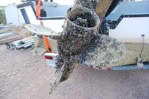 The mussels can quickly coat rocks, docks, buoys and boat hulls, causing structural and mechanical damage.