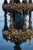In some cases, swarming zebra mussels have sunk navigational buoys.