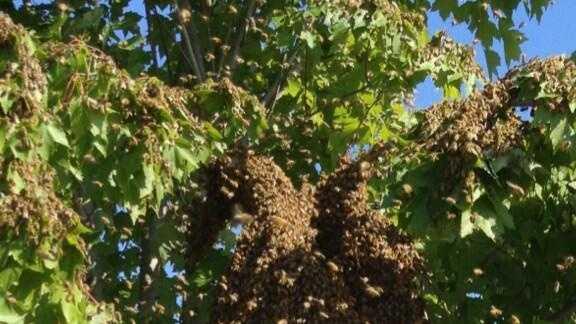 Massive bees