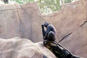 Chimps also show an advanced ability to work together to achieve common goals, especially when hunting.
