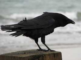 11: Crows