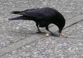 Crows have been known to drop nuts onto roadways so cars can drive over them and break them open. They have also been observed fashioning small pieces of metal into hooks, which they use to extract food from tough-to-get-to areas.