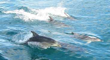 Not only are dolphins charming and beautiful, they are brilliant. One of a dolphin's most advanced abilities is imitation, which is actually quite rare in the animal kingdom. Apart from humans, the animal that is the best at imitation is the dolphin, according to the Dolphin Research Center in Florida.