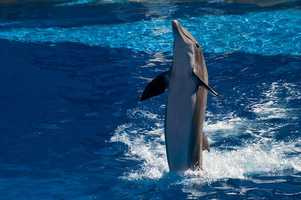 """Dolphins also have an understanding of a concept known as """"object permanence."""" Most animals can't understand that an object is still there if it is removed from view, such as placing it in a bucket. But dolphins have repeatedly shown the ability to recognize that hidden objects are still present even though they have disappeared from view."""
