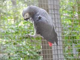 African Grey parrots, which are the squawking Einsteins of the parrot kingdom, can understand shapes, colors and even basic number concepts.