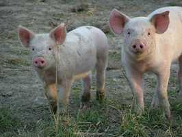 Pigs can learn a name within a couple weeks of birth and will respond to it. They also form very close emotional bonds with humans.