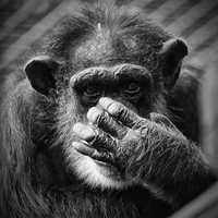 1: Chimpanzees
