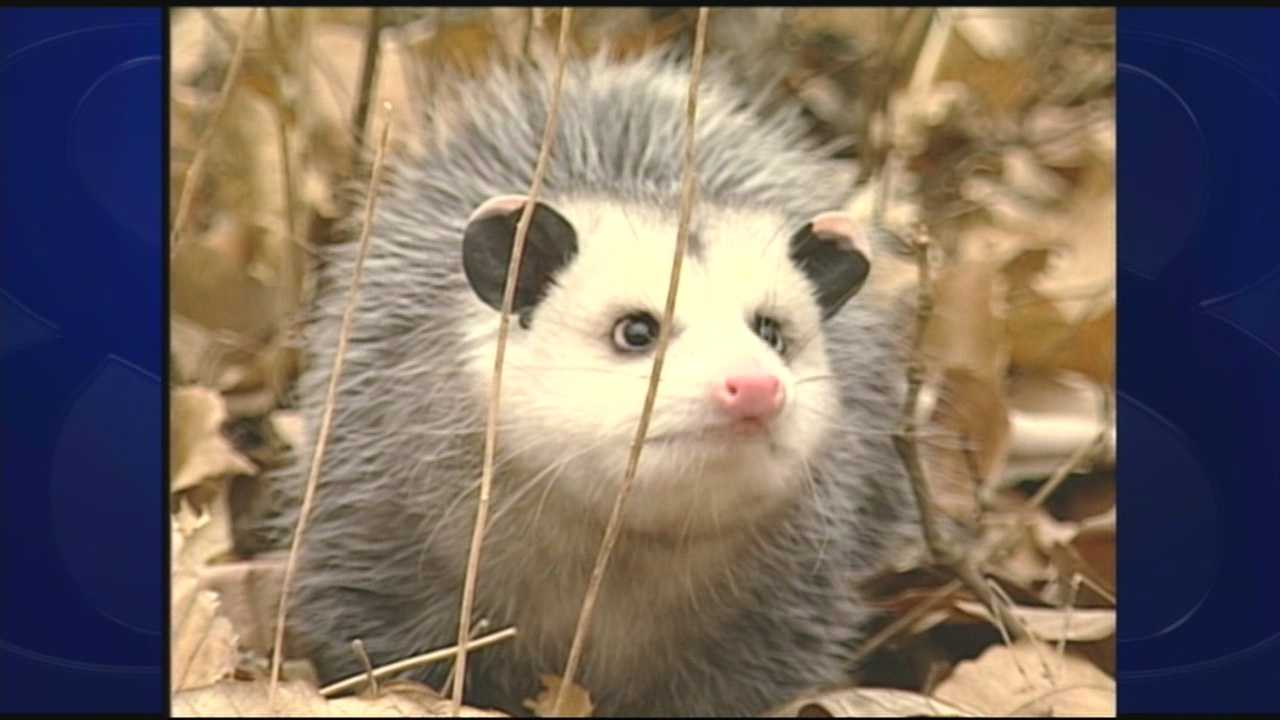 wild moments: opossums