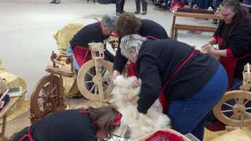 Competitors shave the wool then work as a team to make a shawl.