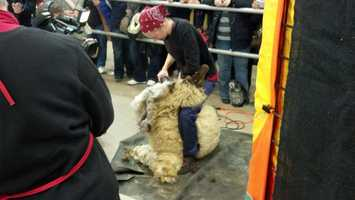 It was sheep to shawl day at the Pa. Farm Show on Wednesday.