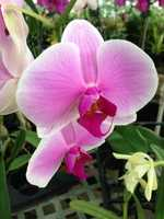 The orchids, which are tropical, think nothing of blooming briefly in February.