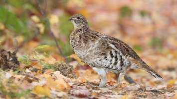 State game bird: The ruffed grouse. (Enacted by the General Assembly on June 22, 1931.)