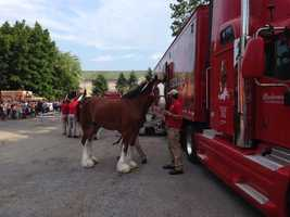 The world-famous Budweiser Clydesdales are in the Susquehanna Valley this week.