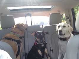 Molly, Cana and Barlie: Reporter Meredith Jorgensen's Yellow Lab, Manchester Terrier and Yellow Lab-Golden Retriever mix.