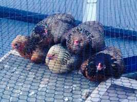 Rug, Frandsen, Chase, Romo and Polamalu: Reporter Anne Shannon's chickens.