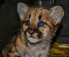 ZooAmerica's newest resident has arrived: A Mountain Lion Cub. Click through to see more photos of the cub. (Find more cub photos and news on ZooAmerica's Facebook page.)