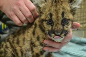 If all goes well, you can expect to see the cub at the zoo in Hershey by the end of September.