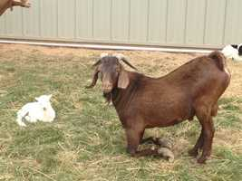 One goat gave birth to two more the day after the SPCA took her in. The rest are being nursed back to health.