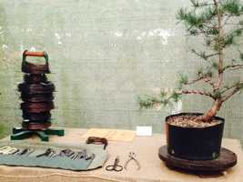 A tree takes its shape through the artists use of aluminum and copper wiring that attaches to each branch. Bonsai tenders also consider all aspects of the plants life including its pot, proper placement (indoors or outdoors), watering, sunlight, wind and other weather factors.