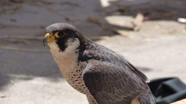 peregrine-falcon-PHOTO-12-4-15.jpg