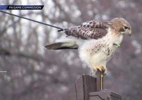 An injured hawk that was rescued with an arrow through its body will be released into the wild Wednesday in York County.