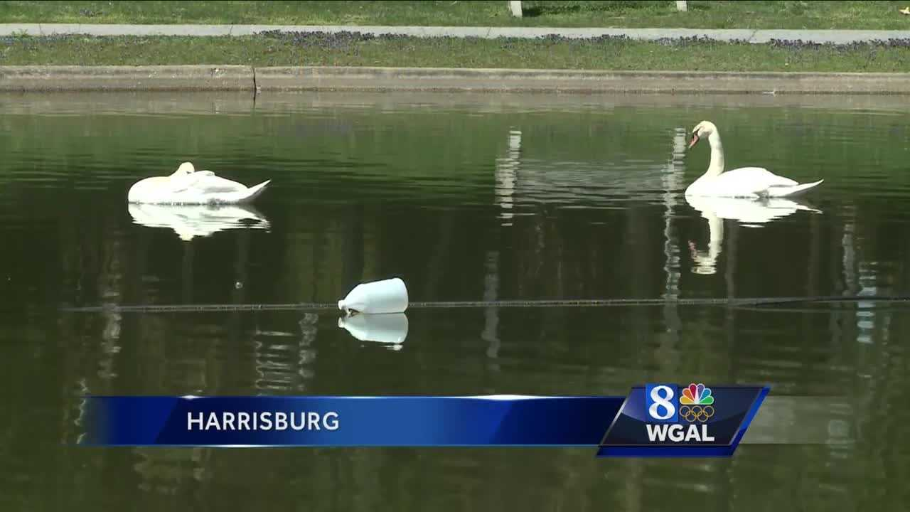 Swans brought into Italian Lake in Harrisburg