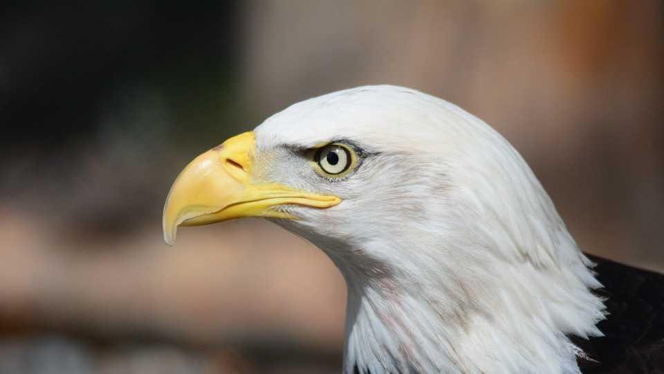 bald-eagle-140793_960_720.jpg