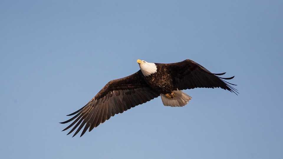 bald-eagle-1018732_960_720.jpg
