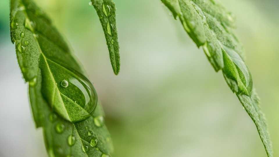 cannabis-1062904_960_720.jpg