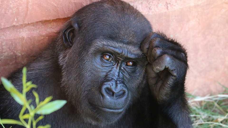 gorilla-1031235_960_720.jpg