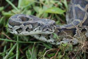 The goal of the report was to assess the risks posed by nine large snakes -- including the world's four largest -- that are not native to the U.S. but may be able to gain a foothold.